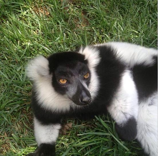 @adamlambert: Oh kirstiealley! Lemurs!! http://instagram.com/p/fR2j5suNLi/